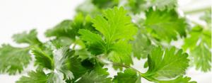 como conservar el cilantro por mas tiempo en casa